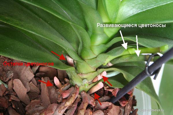 орхидея как выпускает стрелку фото