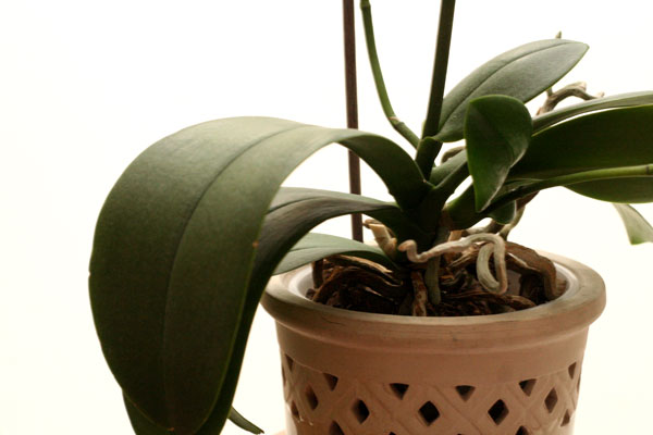 Цветоносы орхидеи растет из центра розетки