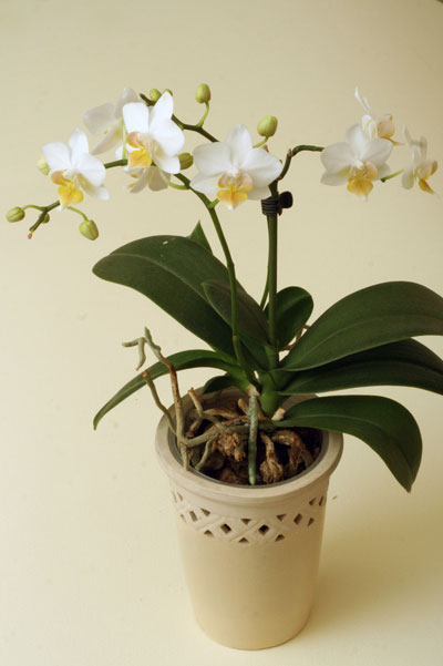 Цветонос орхидеи из центра розетки