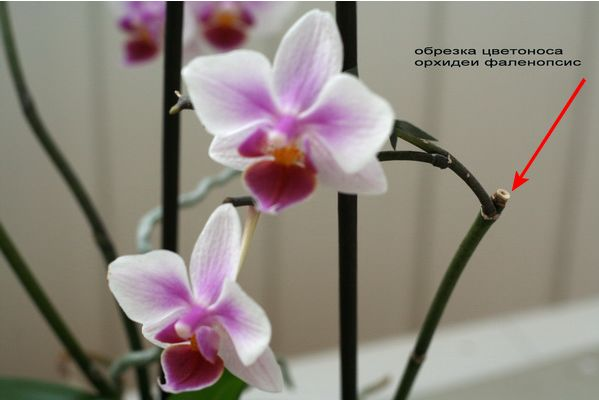 Цветоносы орхидеи фаленопсис и их обрезка после цветения