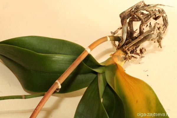Почему желтеют листья орхидей