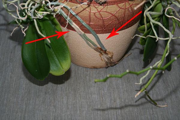 Орхидея в керамическом горшке
