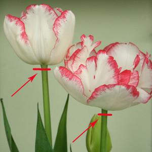 Как сохранить луковицы тюльпанов , нарциссов и крокусов, чтобы посадить их на даче