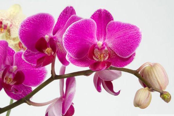 Опадают бутоны орхидей