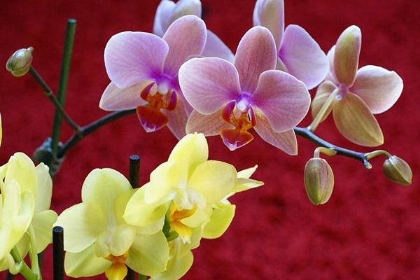 У орхидеи опадают и вянут цветы