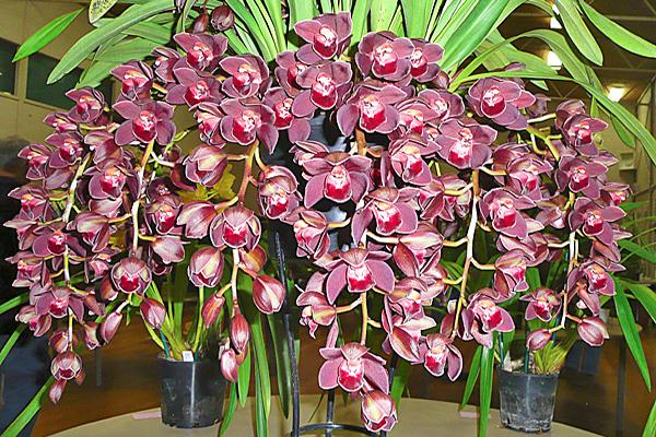Уход за орхидеями в домашних условиях цимбидиум