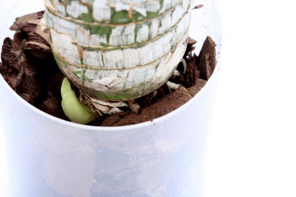 бульбы орхидеи цикнодес
