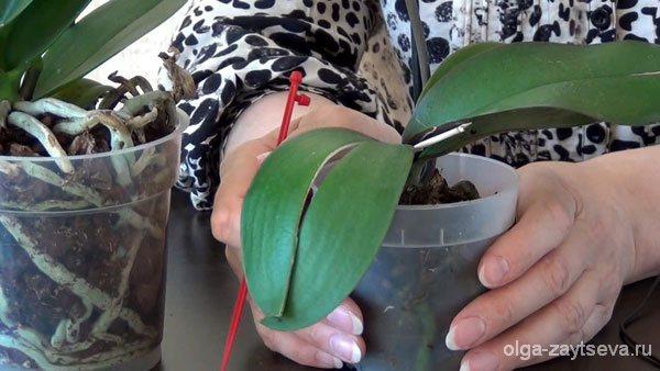 выбрать орхидею