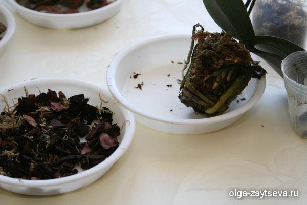 Пересадка миниатюрных орхидей