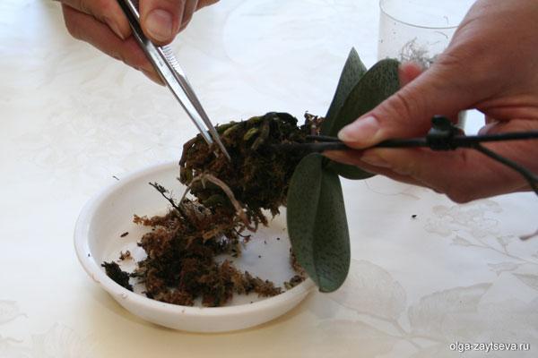 Пересадка мини орхидей