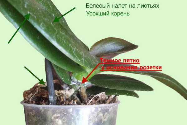 Миниатюрные орхидеи фаленопсис и уход за ними