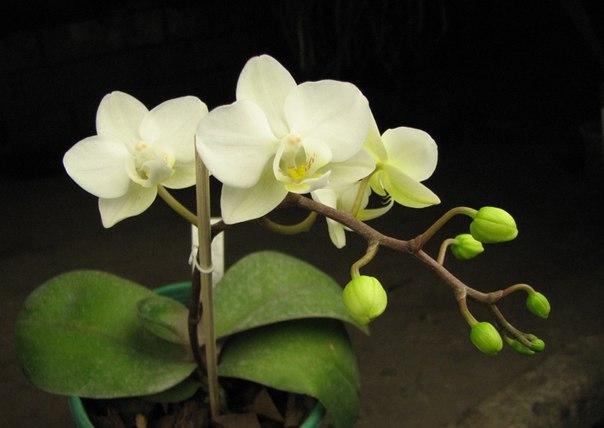 Миниатюрные орхидеи фаленопсис