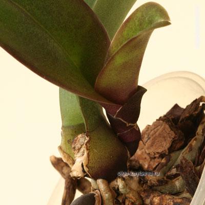 Орхидея без точки роста