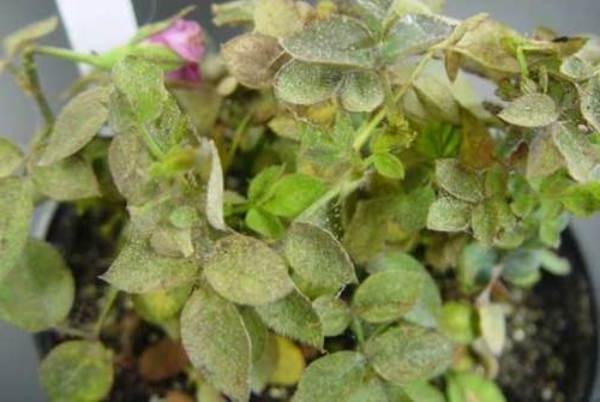 Паутинный клещ на розах домашних условиях