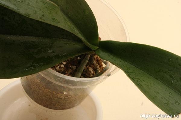 Закрепление розетки орхидеи.
