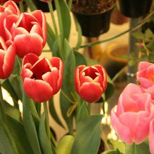 Выгонка цветов в домашних условиях