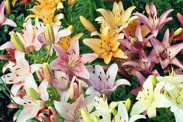 Лилии агротехника выращивания лилии в открытом грунте 33