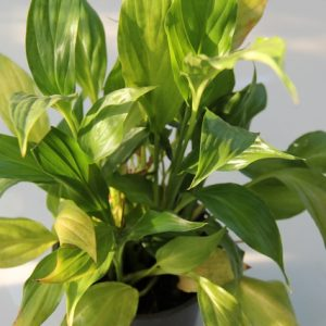 желтеют листья спатифиллума