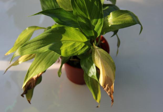 желтеют листья спатифиллума2
