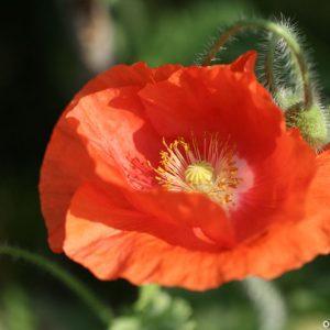 Цветы мака (1)