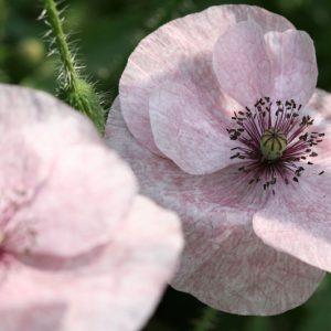 Цветы мака (2)