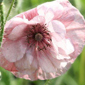 Цветы мака (3)