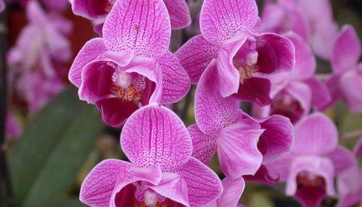 Детки орхидеи фаленопсис