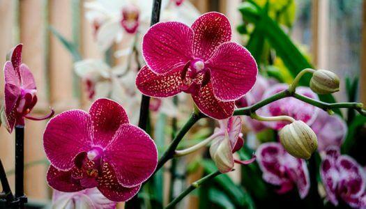Обрезка цветоноса орхидеи фаленопсис