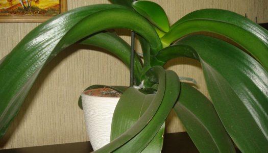 Орхидея без токи роста