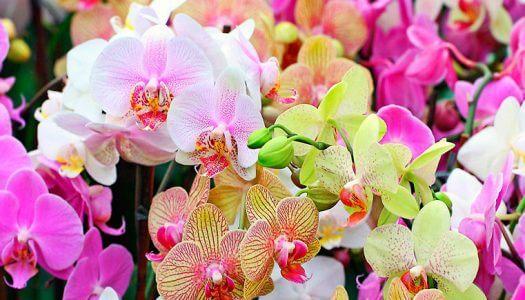 Секрет цветения орхидеи
