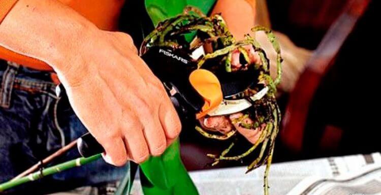 Лечение корней фаленопсис
