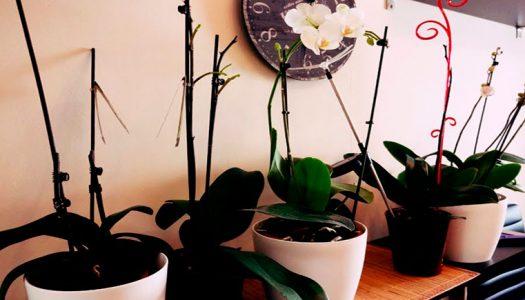 что делать с переросшими орхидеями