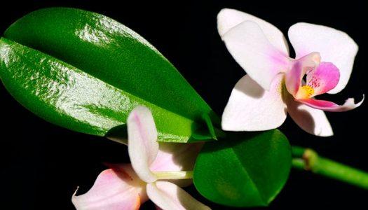 Орхидея цветоносом, выходящим из центра розетки