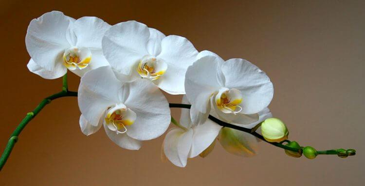 вянут цветы орхидей. каковы причины