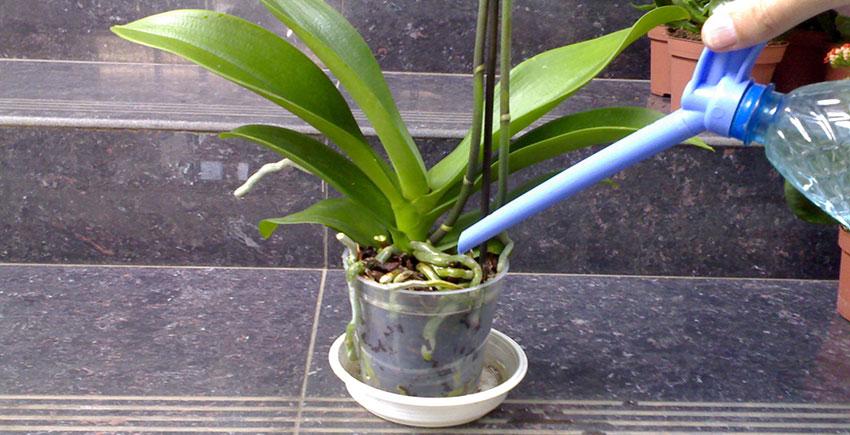Как ухаживать за орхидеей в домашних условиях и как поливать