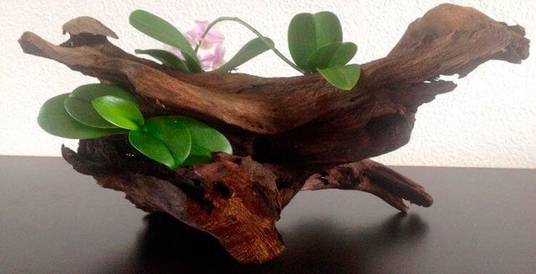посадка детки орхидеи фалинопсис