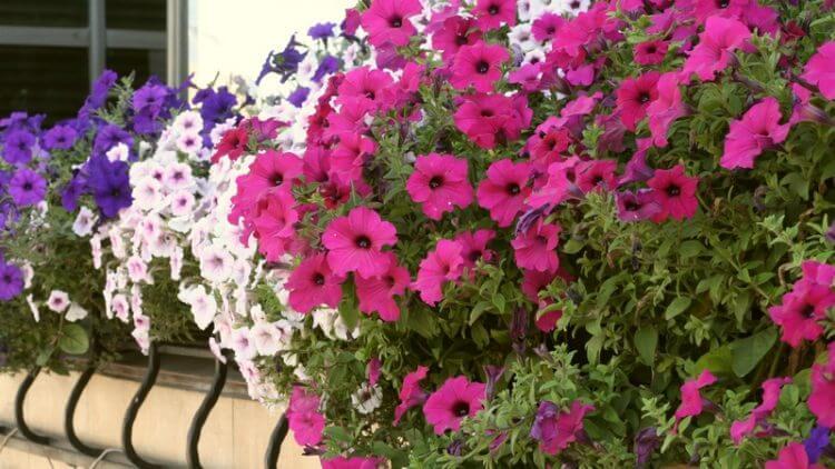 цветы посадить на балконе