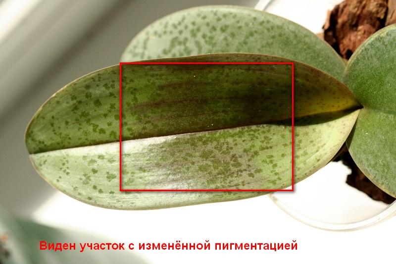ozhog_list'ev_orhidei1