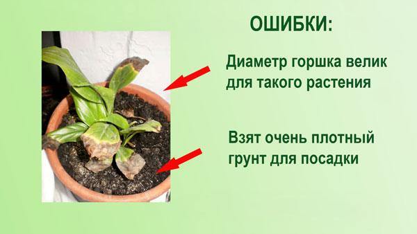 Чернеют-сохнут-листья-спатифиллума