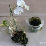 Зеленый налет в горшке орхидеи