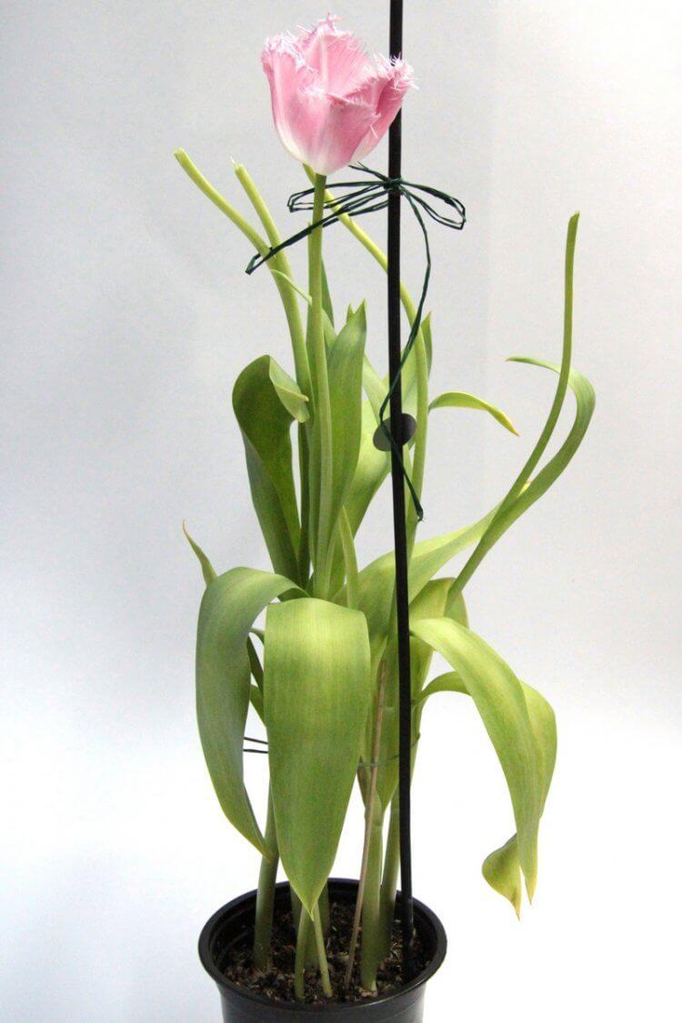 Уход за тюльпаном в горшке