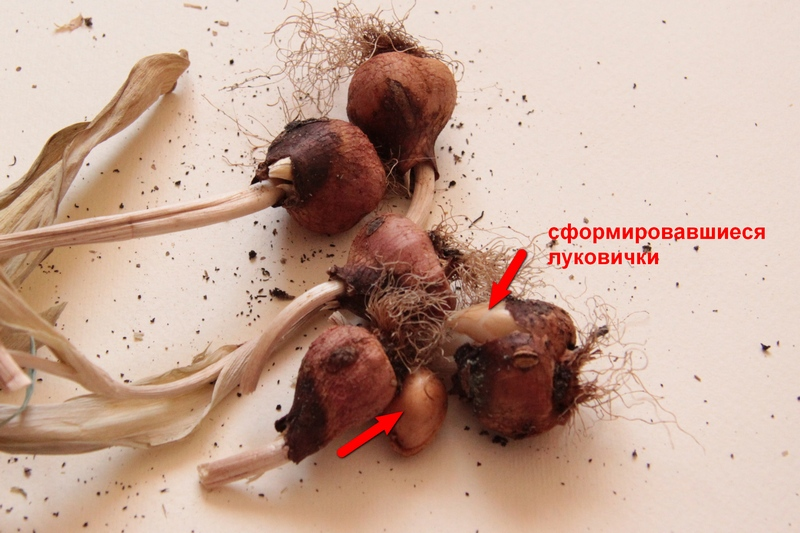высушенные луковицы тюльпана